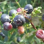 Berries Power Formulae