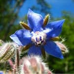 Borage Seed Oil (Borago Officinalis Seedoil)