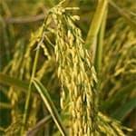 L'huile de son de riz