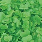 Swiss Garden Cress Sprouts